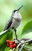 Hummingbird Portr...