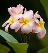 frangipani flower...
