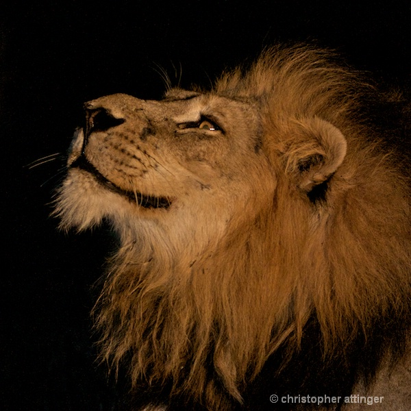 DSC_3295 - male lion head at night sniffing - ID: 7672498 © Chris Attinger