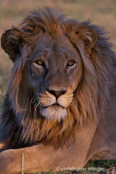 BOB_0181 - lion head with thorn  - ID: 7672510 © Chris Attinger
