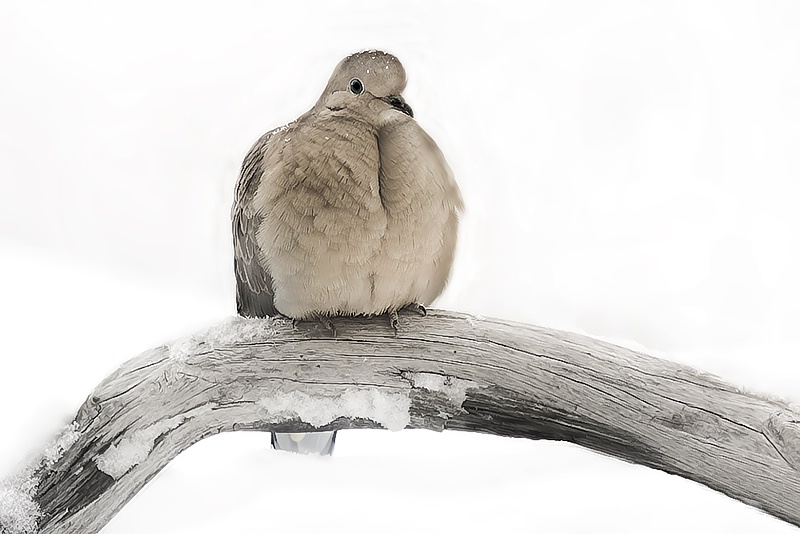 Mourning Dove - ID: 7683032 © Laurie Daily