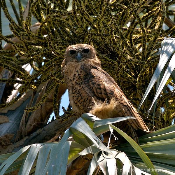 BOB_0014 - Pell's fishing owl - ID: 7683368 © Chris Attinger
