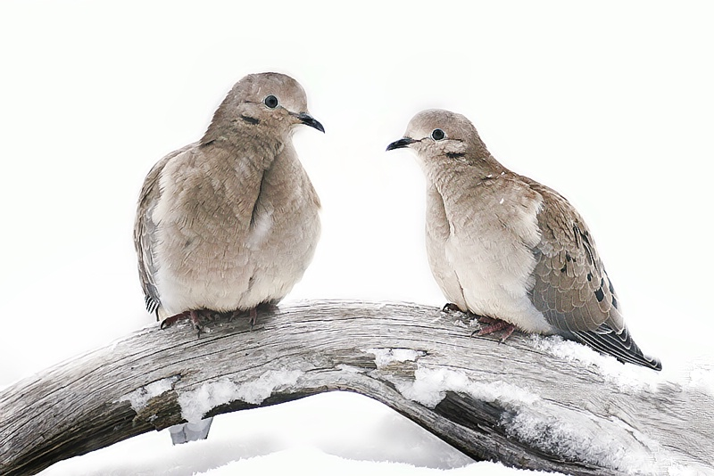 Doves in Winter - ID: 7687766 © Laurie Daily