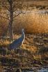 Sandhilll Crane