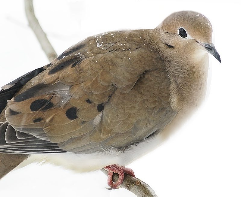 Dove at the Window - ID: 7696961 © Laurie Daily