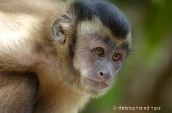 DSC_6004 capucin monkey  guyanna  - ID: 7705555 © Chris Attinger