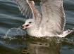 The Cheerios Gull