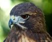 hawk-head-16-by-2...