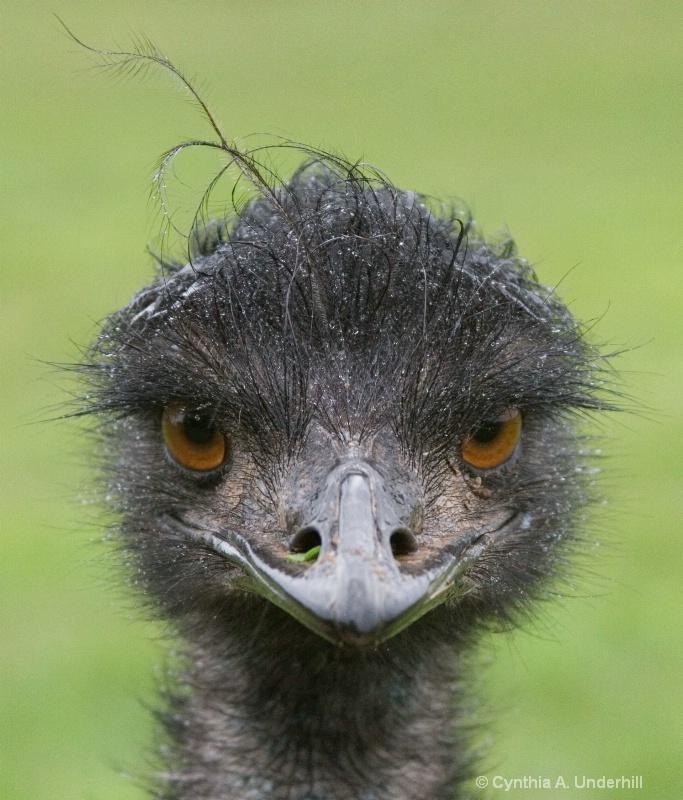 img 4495 emu - ID: 7747296 © Cynthia Underhill