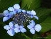 Hydrangeas from L...