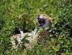 Serengeti Laughin...