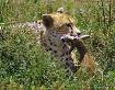 Serengeti Cheetah...