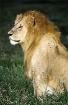 Night Lion