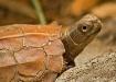 leaf-turtle-10-by...