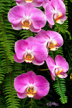Pink Orchids 1
