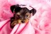 Diva Puppy