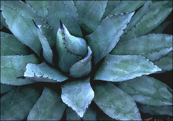 blue cactus - ID: 7835611 © Joseph T. Dick