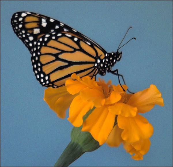 monarch 1 - ID: 7835613 © Joseph T. Dick