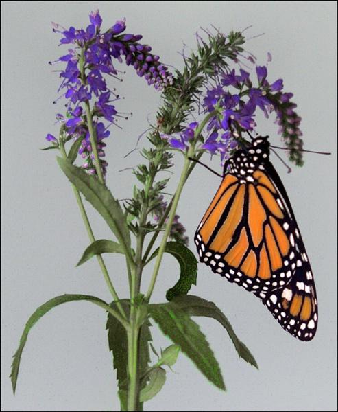 monarch 2 - ID: 7835615 © Joseph T. Dick