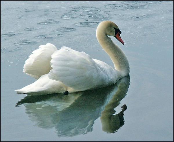 the swan - ID: 7835625 © Joseph T. Dick