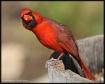 Arizona Cardinal ...