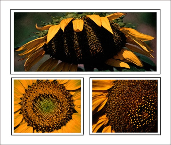 Sunflowers three - ID: 7864160 © Joseph T. Dick