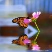 img 5785 Butterfl...