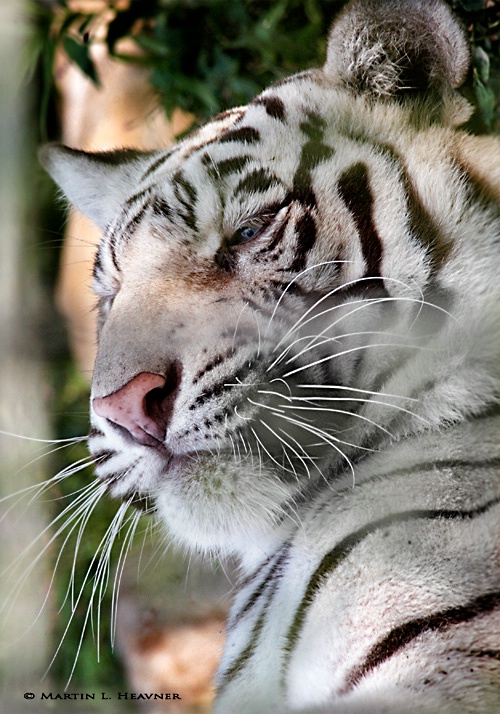 Wise White Tiger - ID: 7951337 © Martin L. Heavner