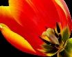 Tulip Mark II
