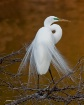 <b>Great Egret  I...
