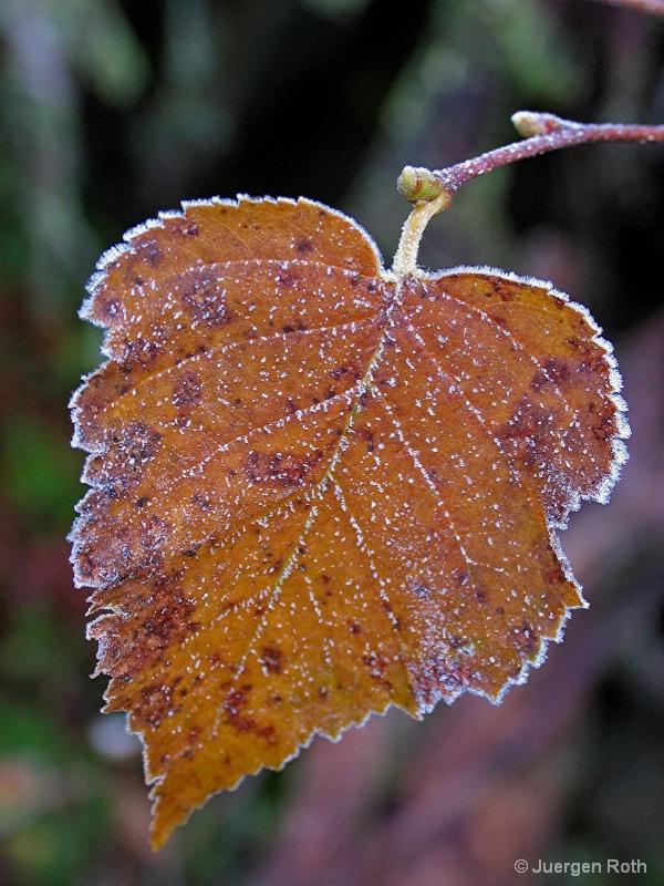 NE-006: Frozen Leaf - ID: 7983982 © Juergen Roth