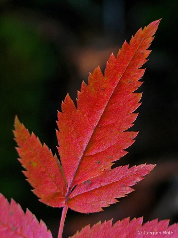 NE-009: Fall Leaf - ID: 7983983 © Juergen Roth