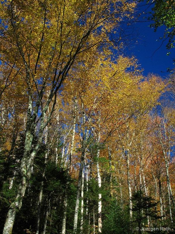NE-014: Birch Trees - ID: 7993786 © Juergen Roth