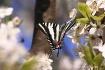Zebra Swallowtail...