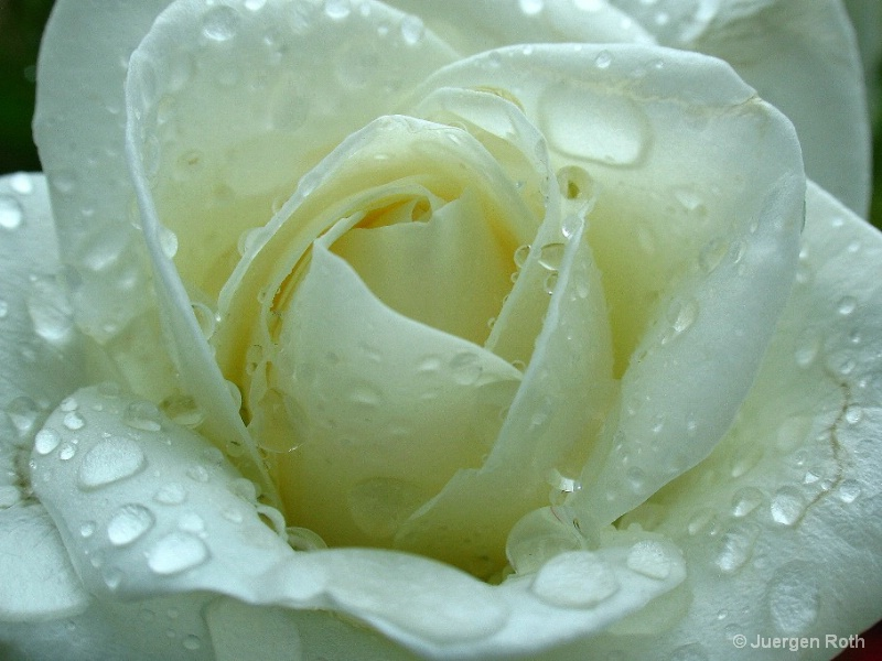NP-012: White Rose - ID: 8022774 © Juergen Roth