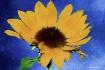 Challis Sunflower...
