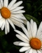 The Two Daisies
