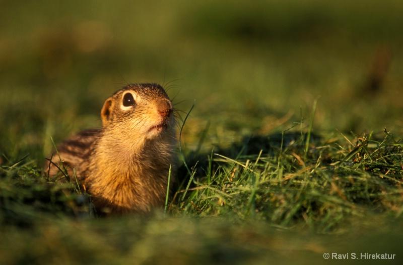 Thirteen Lined Squirrel - ID: 8037902 © Ravi S. Hirekatur