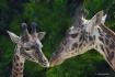 Giraffs, Mom and ...