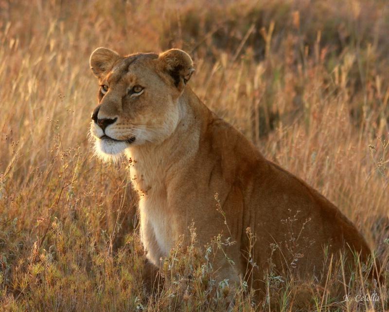 Lady Lion in Morning Light - ID: 8064782 © Karen Celella