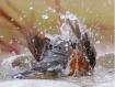 Bathing Robin!