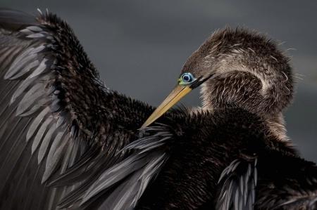 Anhinga at the Everglades