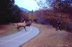 Bull Elk Attack o...