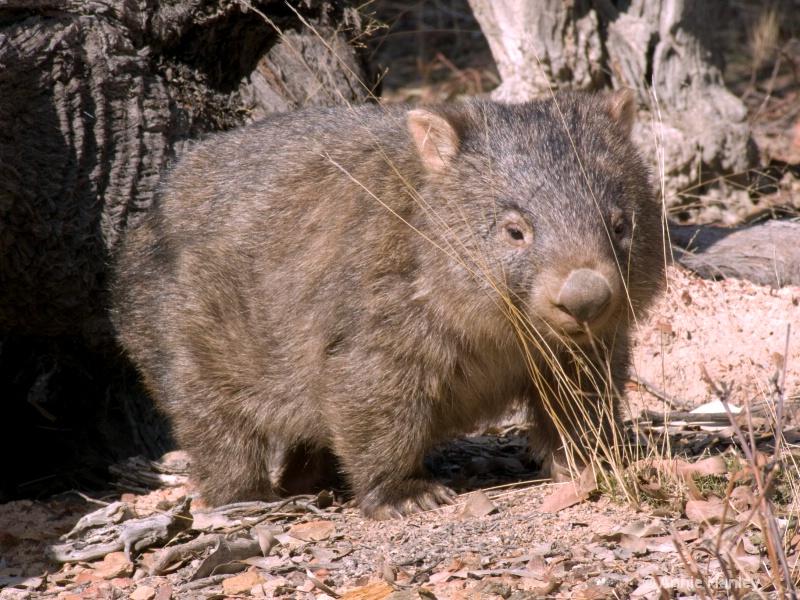 Wombat, Native Australian animal - ID: 8119286 © Ana Hanley