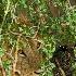 2Peak! - Lion resting under bush - Masai Mara - ID: 8135075 © Larry J. Citra