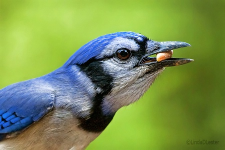 BlueJay Out My Window