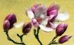 Magnolias #2