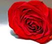 Rose in repose