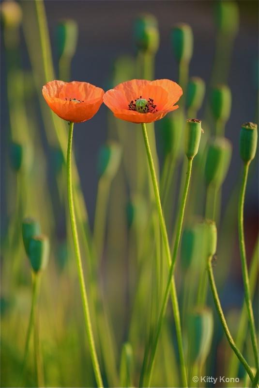 Poppies in Love in Aoyama Cemetery - Tokyo - ID: 8261844 © Kitty R. Kono