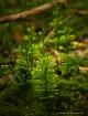 Mini Pine Trees